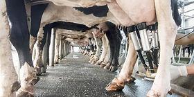 DairyCowBeingMilked_1200x600-1-1024x512.