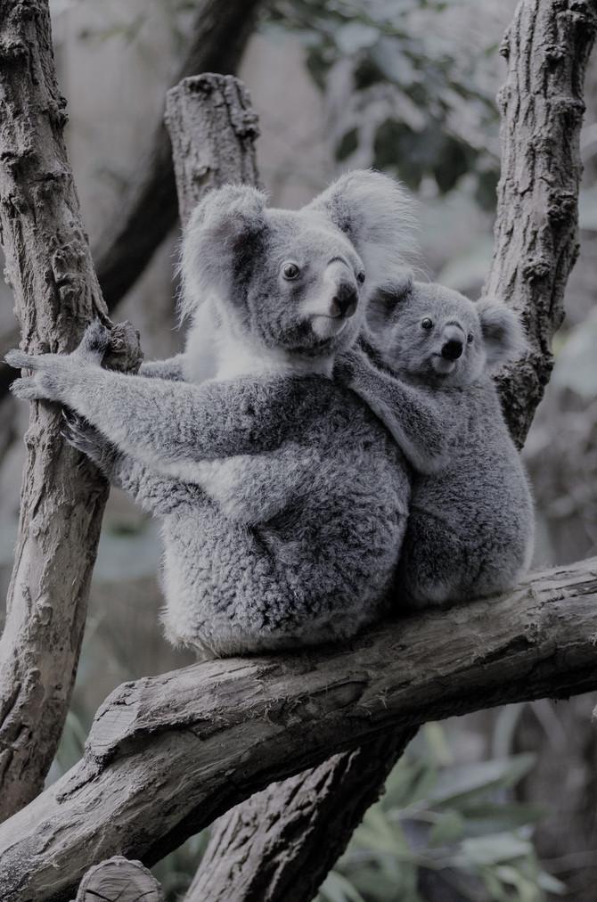 ¿Sois koalas? ¡Sí!