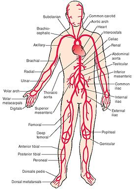 Vücudun atardamar sistemi