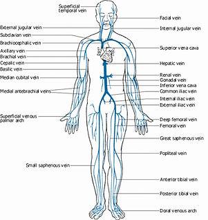 Vücudun toplardamar sistemi
