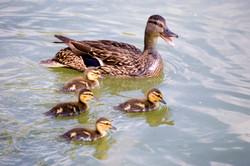 DSC_1131- ducks with mom.jpg