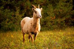 CSC_1851-Sheep.jpg