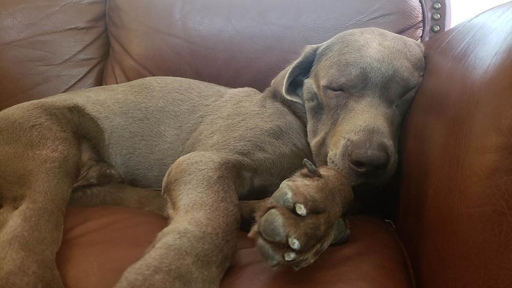 silver labrador sleeping