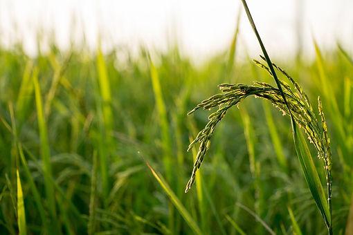 rice-560046_1920.jpg