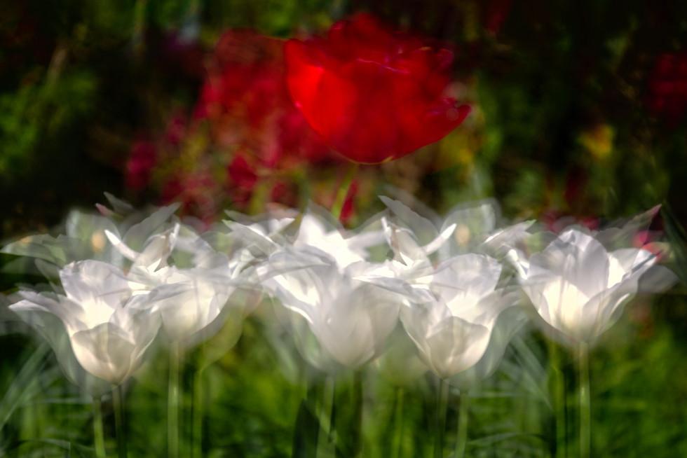 Tanzende Tulpen Neu.jpg