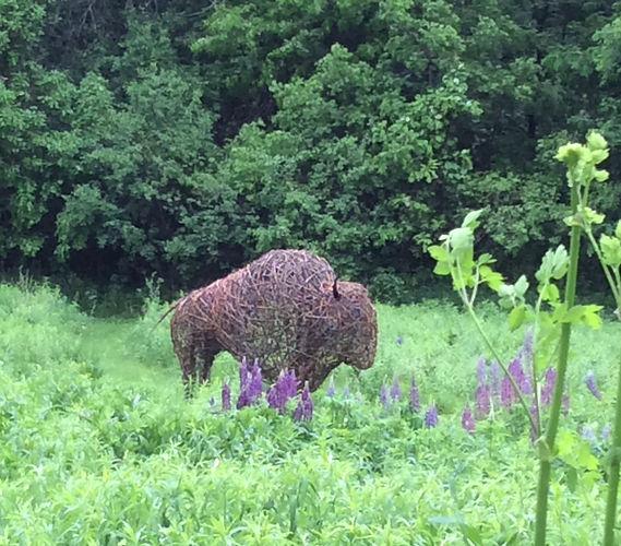 Boris.  the first prairie bison.  Not av