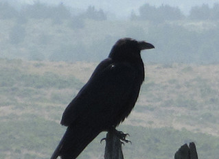 Symbol of the Great Work: the Raven