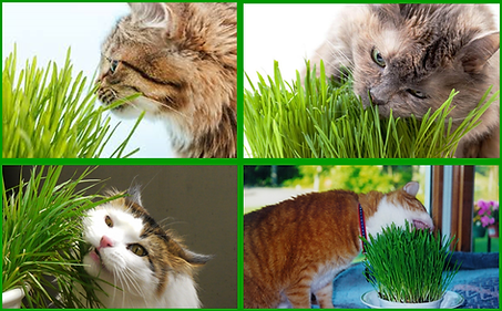 Cat Grass - Pic for posting.png