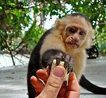 Tamarindo - White Faced Monkey.JPG