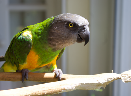 """Coco Calling No. 105 - Wise Parrot, or """"Floored"""" parrot?"""