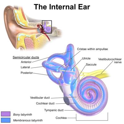 internal ear
