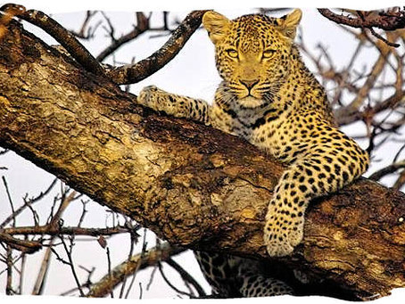A leopard can't change its spots - or can it?