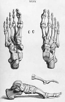 Kosti stopala - izvor: Wikipedia