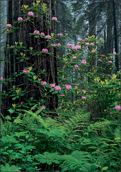 Rhododendron Pacifica