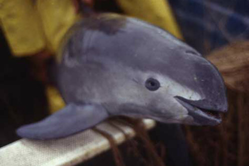 SCS Swiss Cetacean Society Action Vaquita Méthodes Pêche