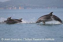 Grand dauphin_Joan GOnzalvo_Tethys - cop