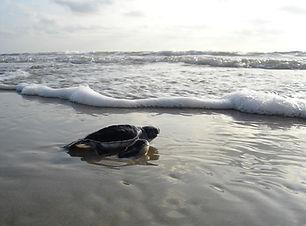 green-sea-turtle-
