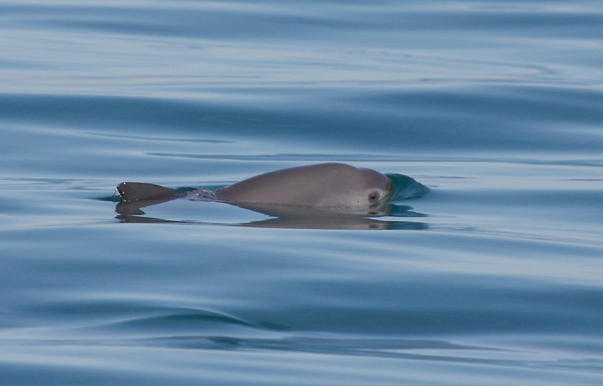 PHOTO Vaquita nage source ProNatNoroeste