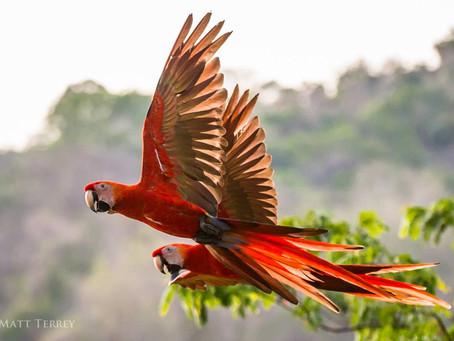 Saving Wild Scarlet Macaws