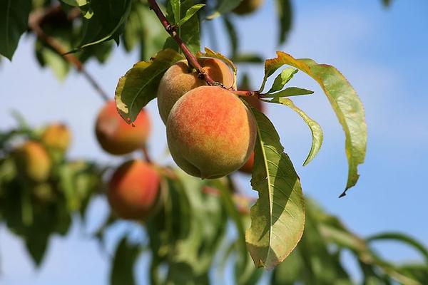 Peaches.webp