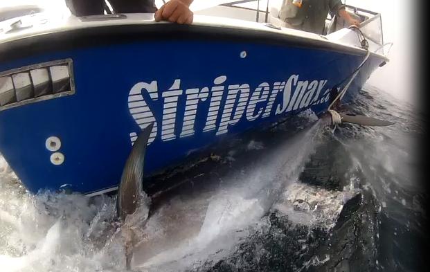 Striper Snax Tuna Dragging.png