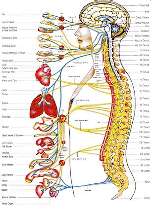 nerve-chart1.png