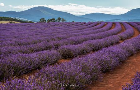Lavender of Tasmania