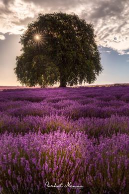 Lavender of Australia