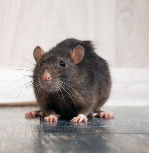 rat-central-extermination-1460x1094_edited.jpg