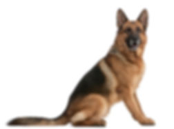 german-shepherd-1.jpg