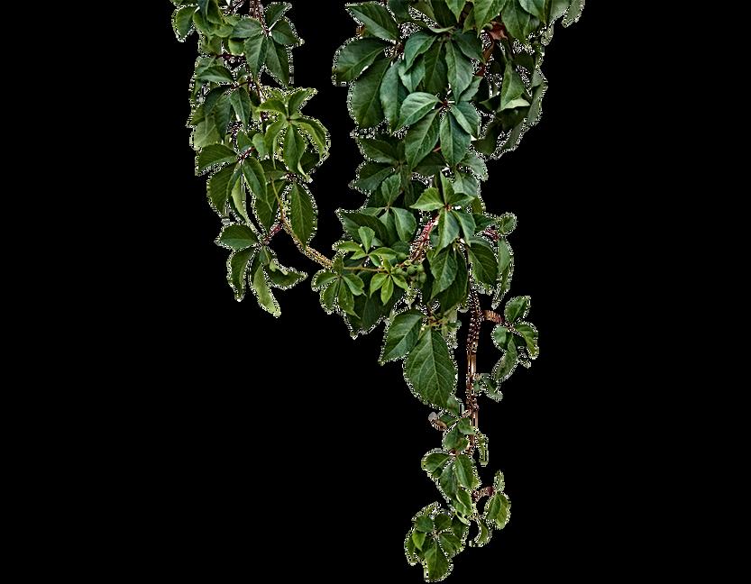 kisspng-vine-green-vines-5a6adf3c400f30.