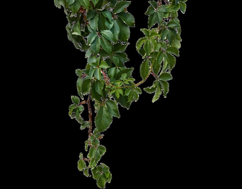 kisspng-vine-green-vines-5a6adf3c400f30_