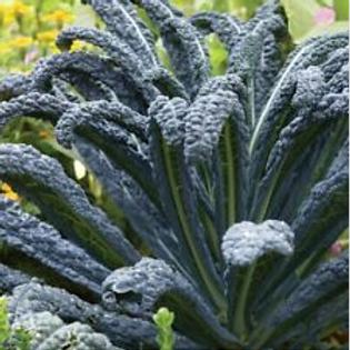 Black Tuscany Kale  Organic Seeds
