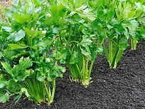 UK_celery-growing.jpg