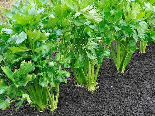 Celery Certified Organic Seeds