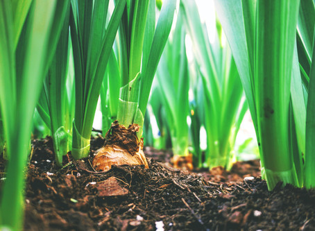 How to Grow Onions & Garlic in Containers