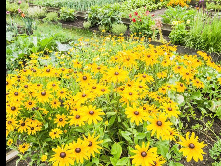How to Grow Jerusalem Artichokes - the sunflower spud!