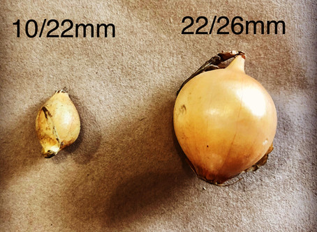 What do the different onion set sizes mean?