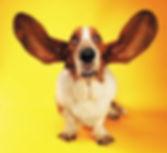 Basset hound orelha cachorro.jpg