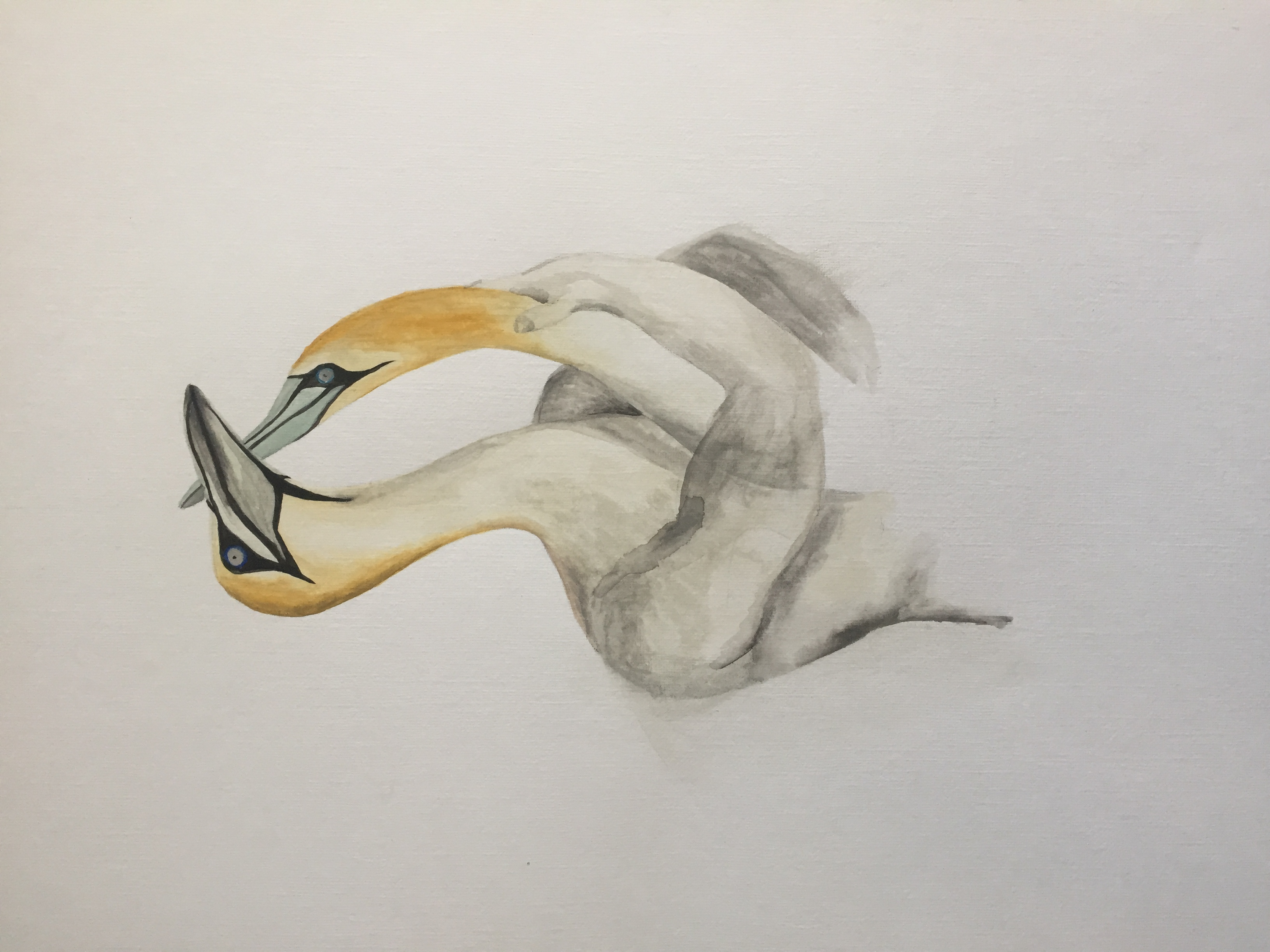 Watercolour Gannets