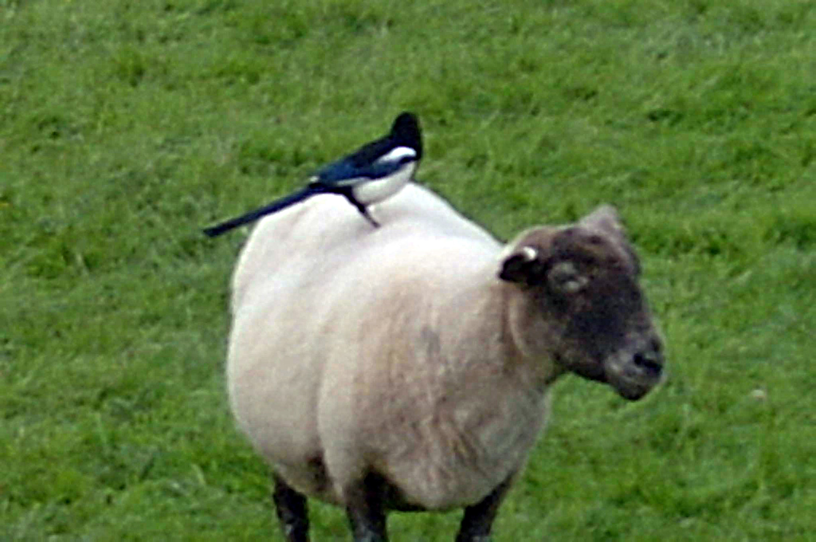 sheep and magpie.jpg