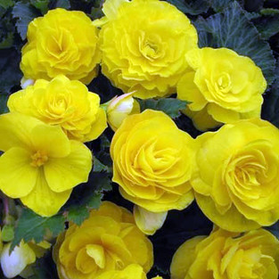 Biggest and Best Begonia Competition