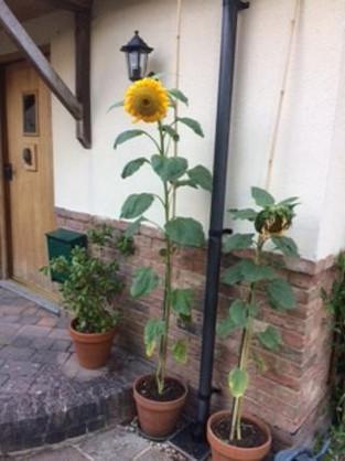 The Hamlet is full of giant sunflowers