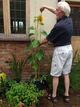 Sunflower Competition