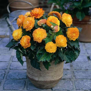Giant Begonia Competition