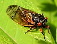 cicada1.jpeg