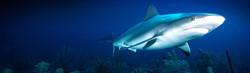 dangerous-shark-header-2037-1024x300