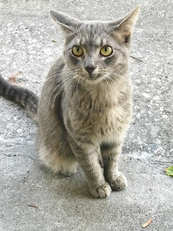 stray grey cat (2).jpg