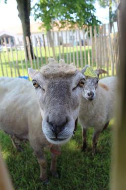 Brebis & son agneau