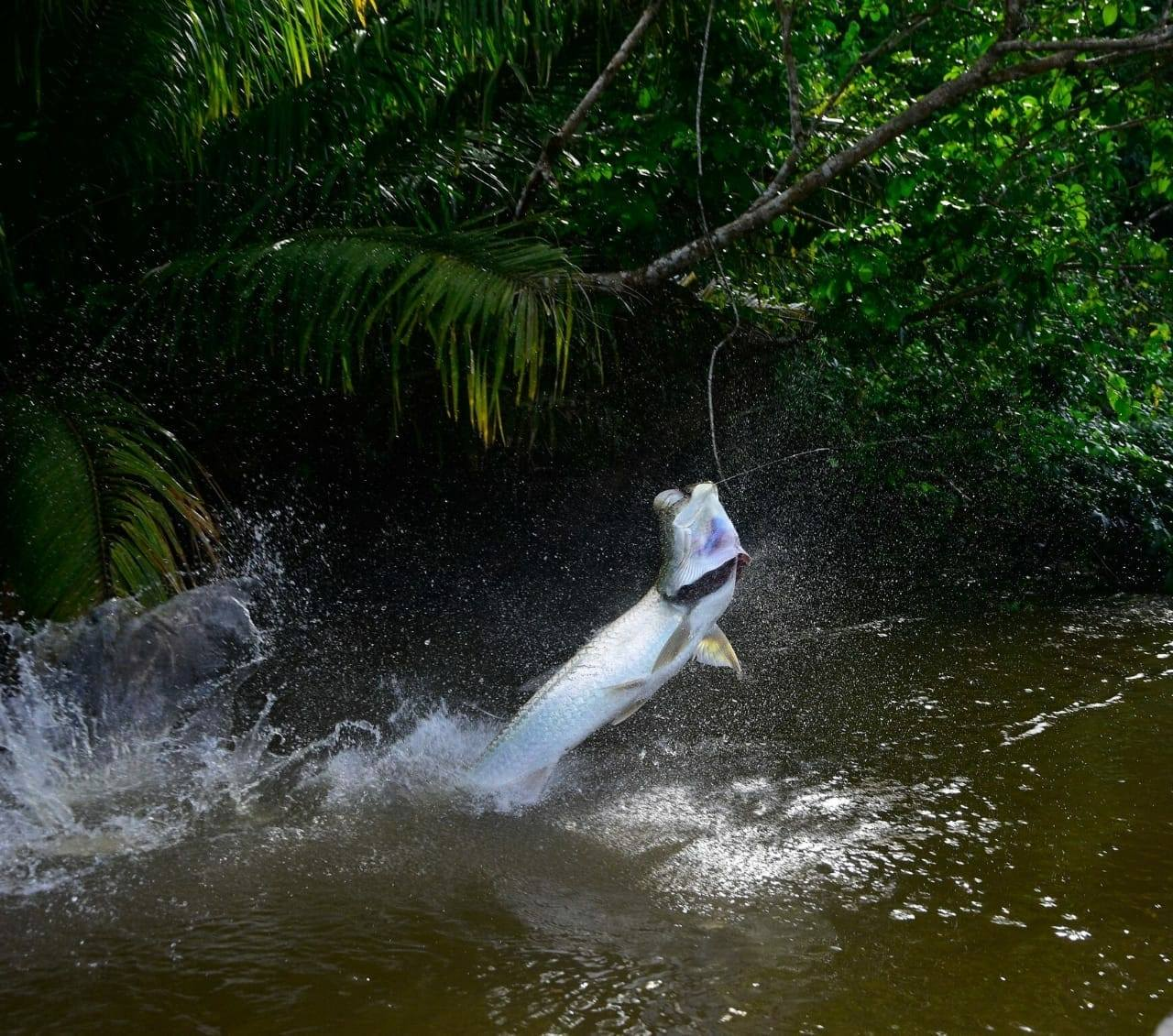 H.T. JUNGLE TARPON 2018